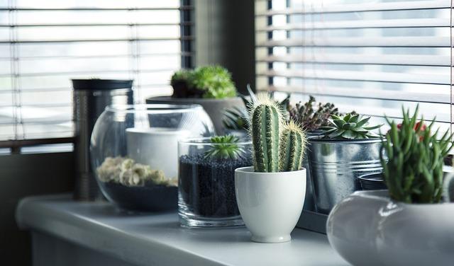 kaktusy na okně
