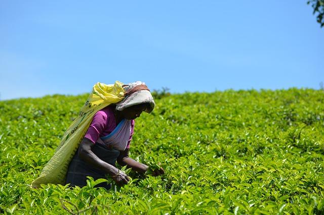 čajové pole
