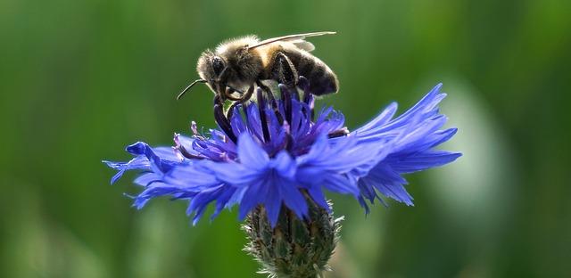 chrpa a včela